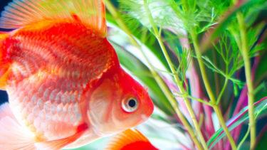 金魚に水草を入れる理由