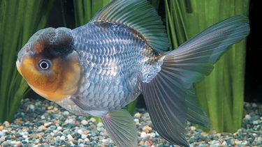青文魚の特徴と飼い方