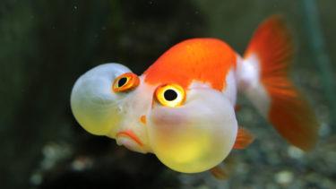 水泡眼の特徴と飼い方