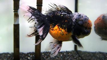 金魚の体色と呼び方9選