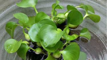 ホテイ草の特徴と育て方