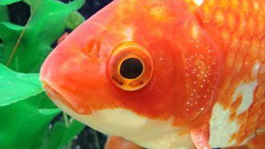 金魚のオス・メスの見分け方