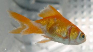 今知っておくべき金魚の病気7選