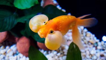 知って損なし金魚の種類20選